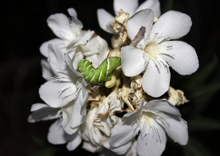 horned tomato worm on oleander flower cluster